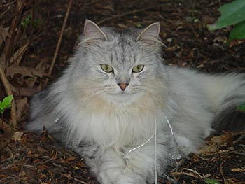 Tiadora siberian forest cat